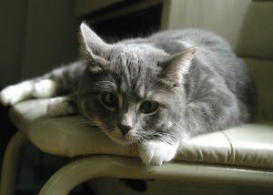 Kot, który nie wywołuje reakcji alergicznej